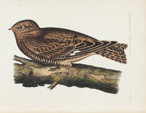 Western Nighthawk (Chordeiles Henryi) 1859 Antique Color Bird Print Plate 17