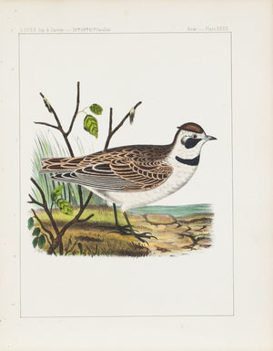 Sky Lark (Eremophila Cornuta) 1859 Antique Hand Colored Bird Print Plate 32
