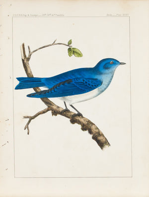 Swainson Arctic Bluebird (Sialia Arctica) 1859 Antique Color Bird Print Plate 35