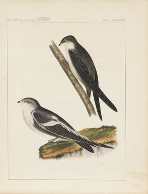 White-throated Swift & Dekay 1859 Antique Hand Colored Bird Print Plate 18