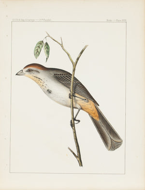 Brown Towhee (Pipilo mesoleucus, Baird) 1859 Color Antique Bird Print Plate 29