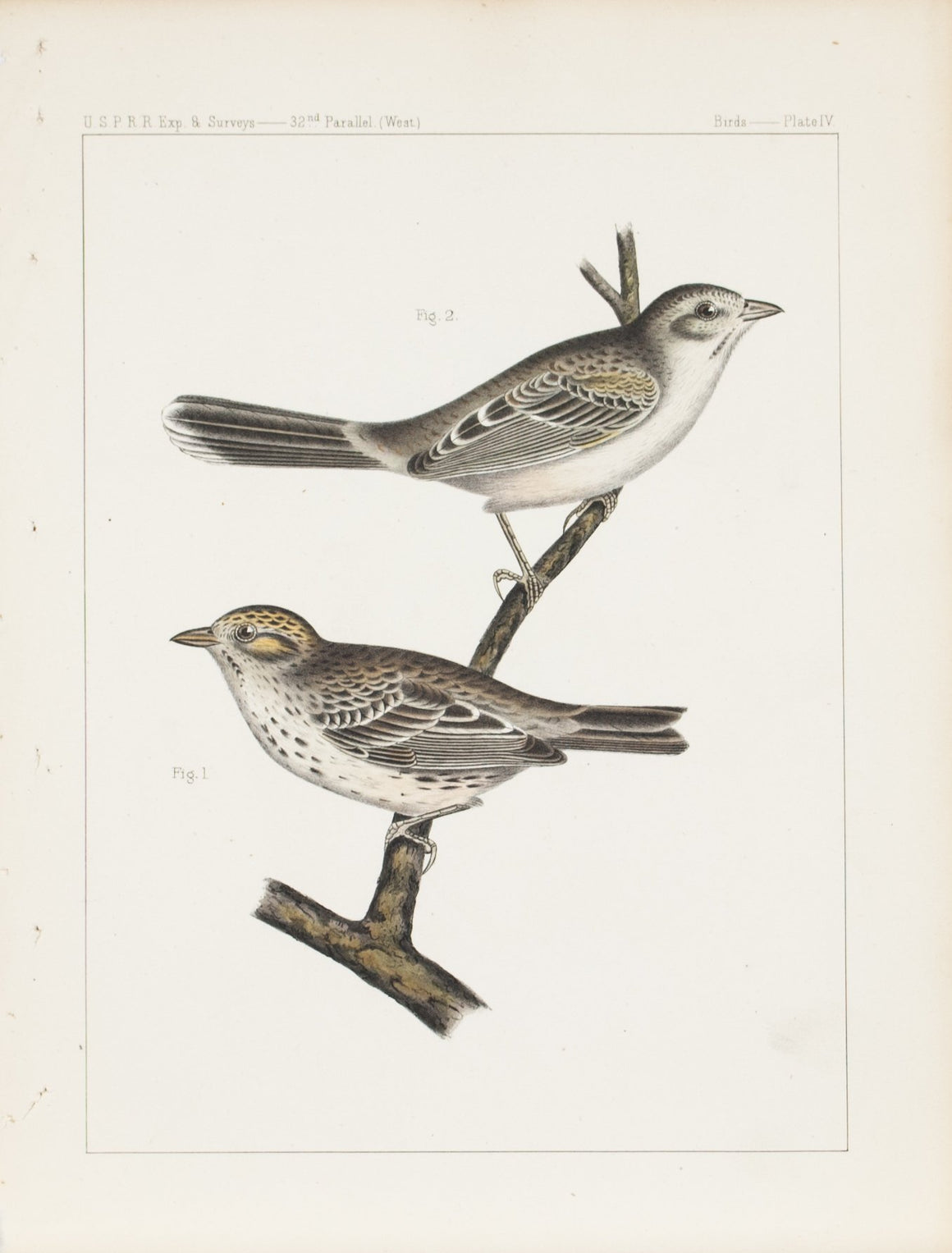 Cassin's Sparrow 1859 Antique Hand Colored Bird Print Plate 4
