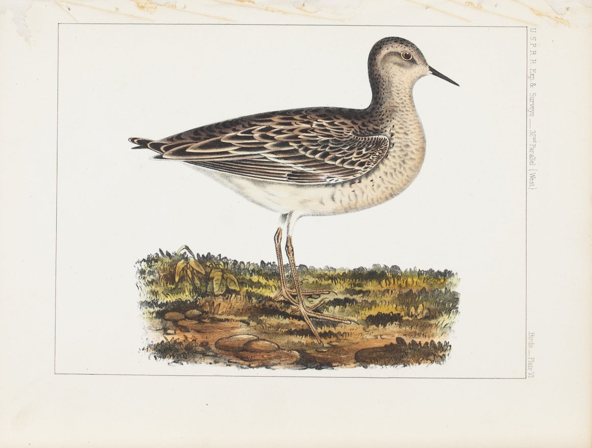 Mottled Grass Plover 1859 Antique Hand Colored Bird Print Plate 6