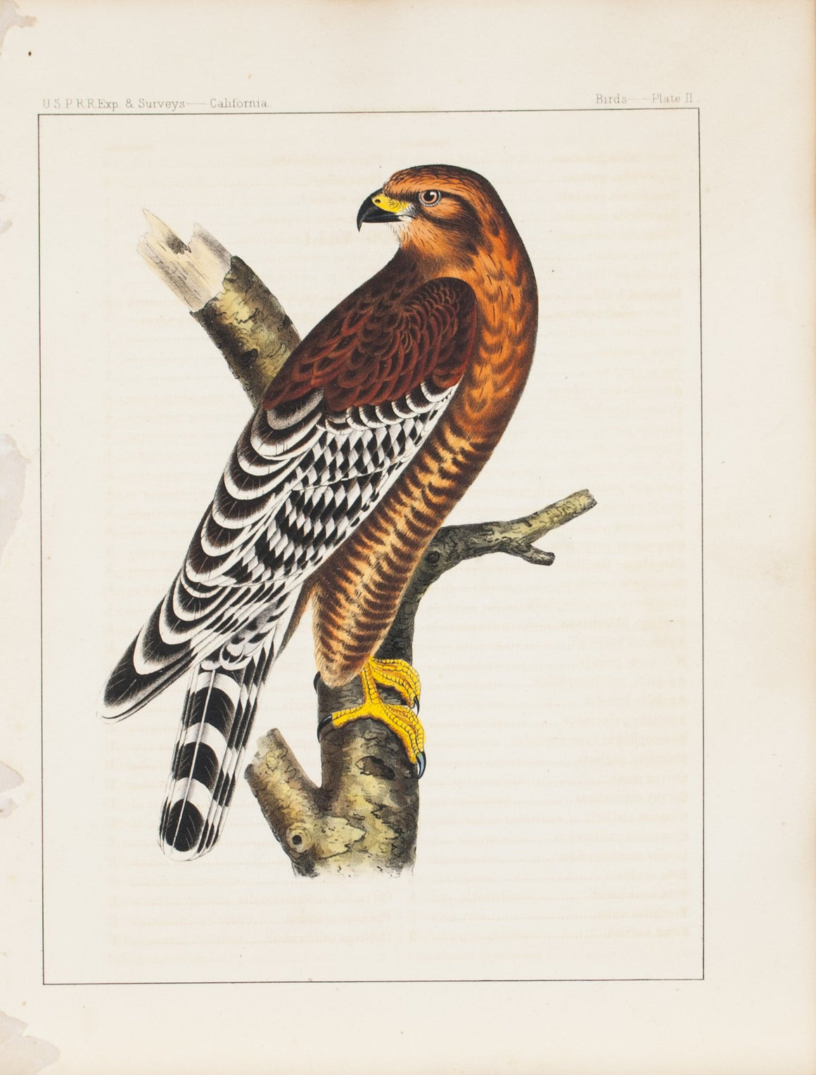 Red-shouldered Hawk 1859 Antique Hand Colored Bird Print Plate 2