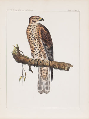 Western Red-shoulder Hawk (Buteo elegans, Cassin) 1859 Bird Print Plate 3