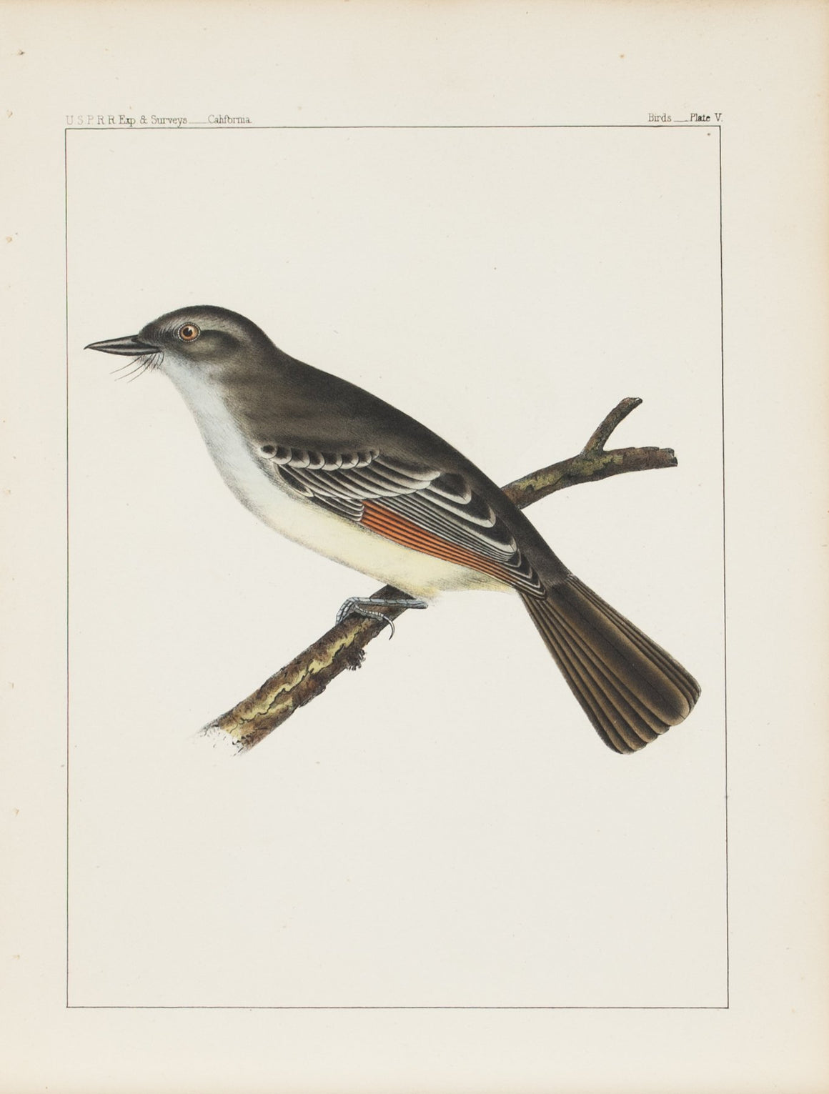 Ash-colored Fly-catcher (Myiarchus mexicanus, Baird) 1859 Bird Print Plate 5
