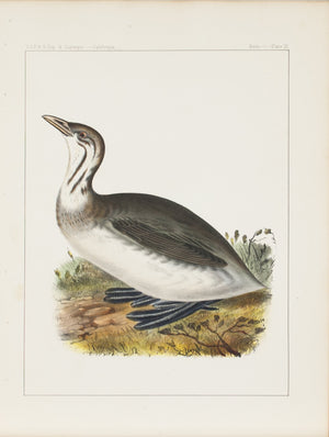 Pied-billed Grebe 1859 Antique Hand Colored Bird Print Plate 9