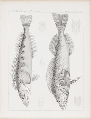 Fishes Plate XVIII 1859 U.S.P.R.R. Lithograph Fish Print