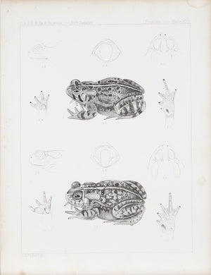 Spotted Frog Plate XXV 1859 U.S.P.R.R. Lithograph Reptiles Print