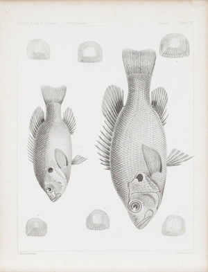 Fishes Plate IV 1859 U.S.P.R.R. Lithograph Fish Print