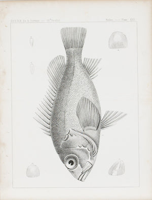 Fishes Plate XXI 1859 U.S.P.R.R. Lithograph Fish Print