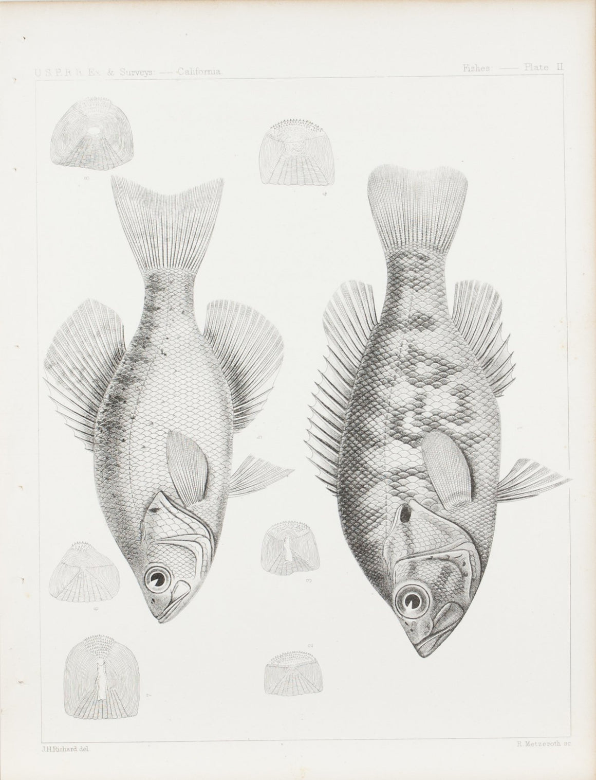 Fishes Plate II 1859 U.S.P.R.R. Lithograph Fish Print