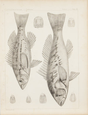 Fishes Plate XII 1859 U.S.P.R.R. Lithograph Fish Print