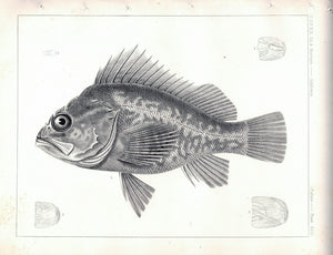 Fishes Plate XXII 1859 U.S.P.R.R. Lithograph Fish Print