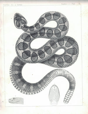 Snake Plate XI 1859 U.S.P.R.R. Lithograph Reptiles Print