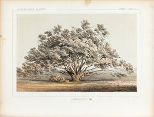 Manzanita Tree Antique Botany Print 1857 USPRR Antique Survey Lithograph Print