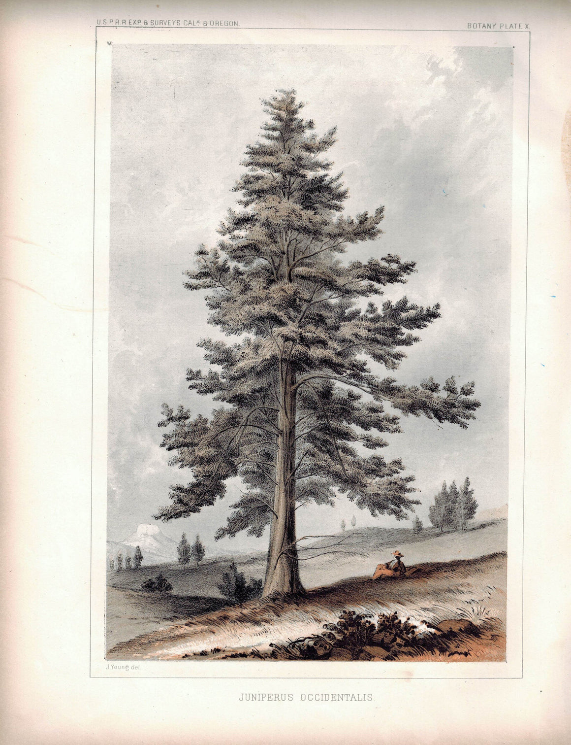 Juniperus Occidentalis Tree Antique Botany Plate X 1857 USPRR Survey Lithograph
