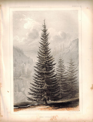Abies Douglassii Tree Antique Botany Plate VIII 1857 USPRR Survey Print
