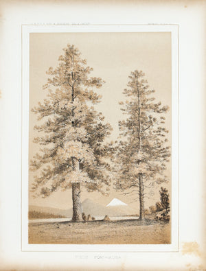 Pinus Ponderosa Tree Antique Botany Print 1857 USPRR Survey Lithograph