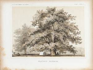 Blatanus Racemoss Tree Antique Botany Plate II 1857 USPRR Survey Print