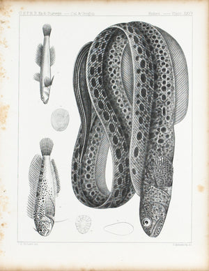 Anarrhichthys Felis Blennius Gentilis Plate XXVa Antique Fish Print 1857