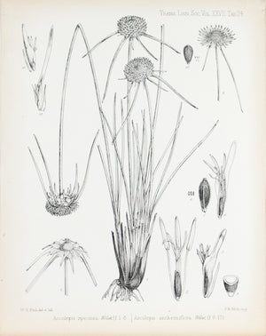 Ascolepis Speciosa, Welw 1869 Botany Flower Print by Fitch Desert Plant