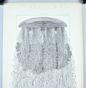 Cyanea Arctica Jellyfish Antique 1860 Print Sea Life Plate III Large Art Image