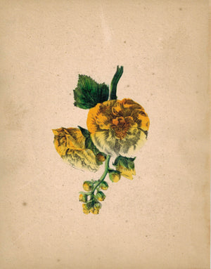Beautiful Hand Colored Yellow Flower Antique Print 1841