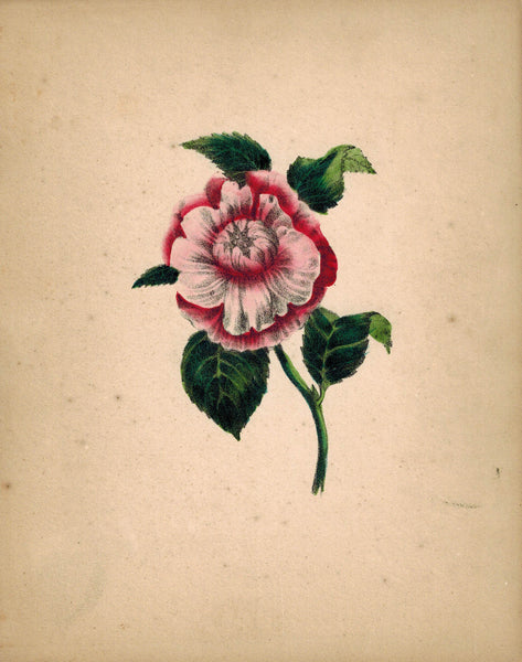 Beautiful Hand Colored Red & Pink Flower Antique Print 1841