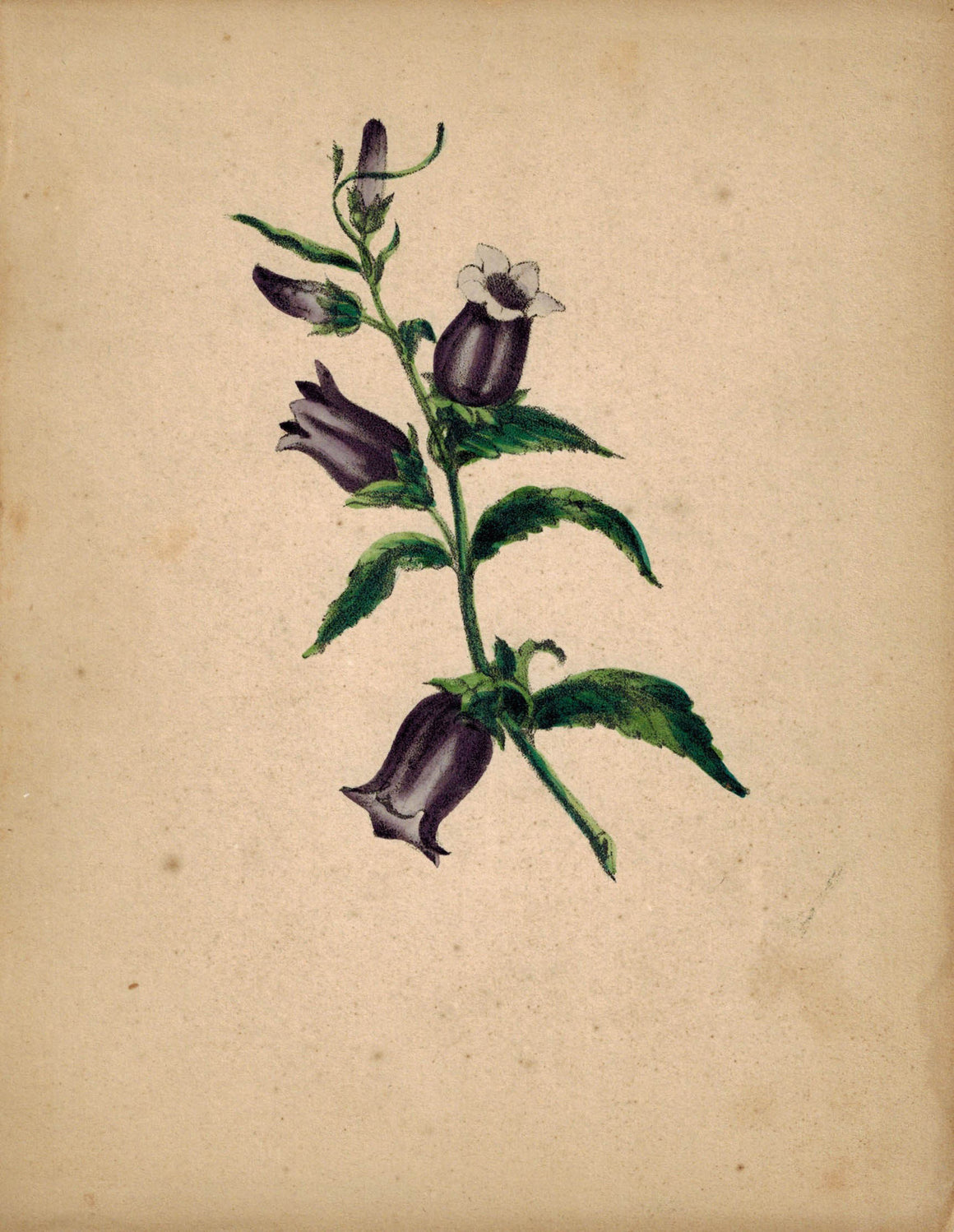 Beautiful Hand Colored Purple Flower Antique Print 1841
