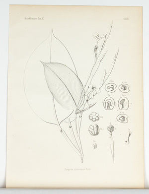1859 Tab VIII - Asian Plants - Imprimerie de L Universite Imeriale
