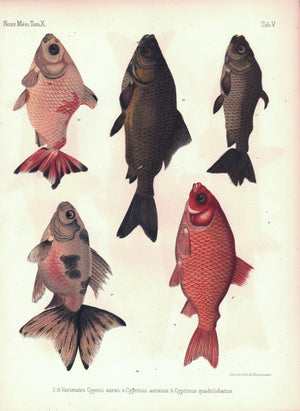 Asian Fish Goldfish Cyprinus Family 1855 Antique French Russian Print RARE