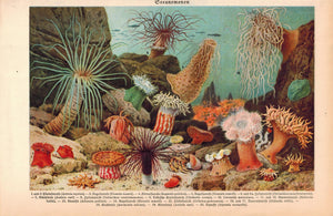 Sea Fauna Sea Life Animals 1929 Meyers Print