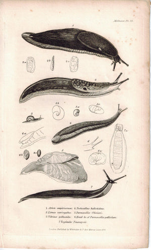 Snails Slugs Mollusca Antique Cuvier Print 1834 Pl 35