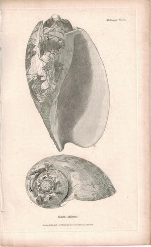 Sea Shell Mollusca Antique cuvier Print 1834 Pl 29