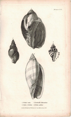 Sea Shell Mollusca Antique cuvier Print 1834 Pl 30