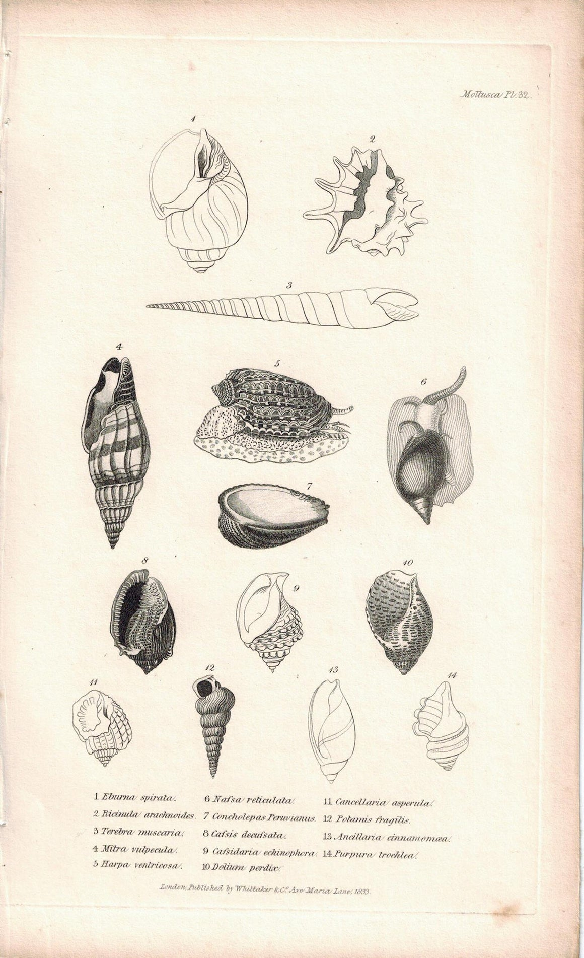 Sea Shell Mollusca Antique cuvier Print 1834 Pl 32