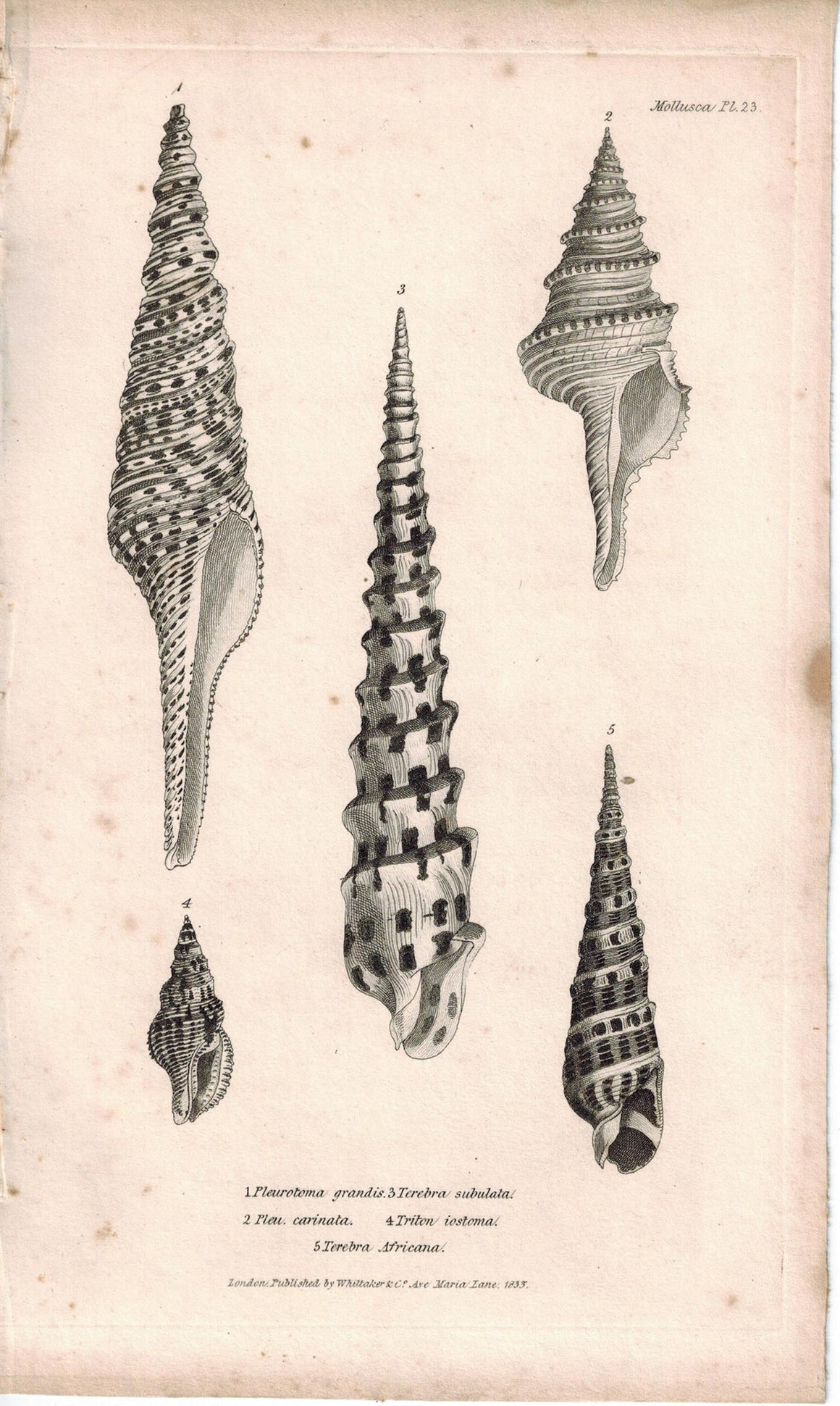 Sea Shell Mollusca Antique cuvier Print 1834 Pl 23