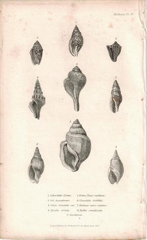Sea Shell Mollusca Antique cuvier Print 1834 Pl 37 B