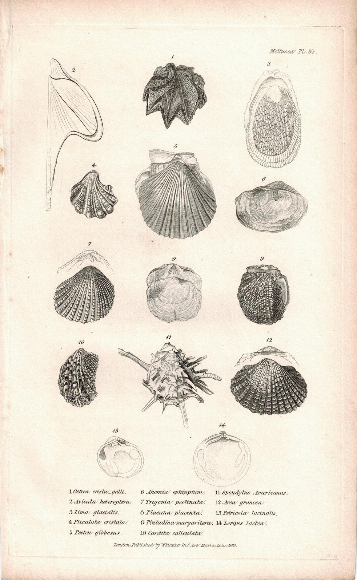 Sea Shell Mollusca Antique cuvier Print 1834 Pl 39