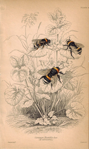 Common Humble-Bee 1840 Original Hand Colored Engraved Print