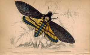 Deaths-head Hawkmoth 1840 Original Hand Colored Engraving Print