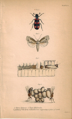 Humble Bees supporting a piece of comb 1840 Original Engraving Print