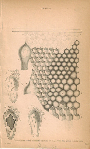 Structure of the Different Classes of Cells with the Queen or Royal 1840 Print