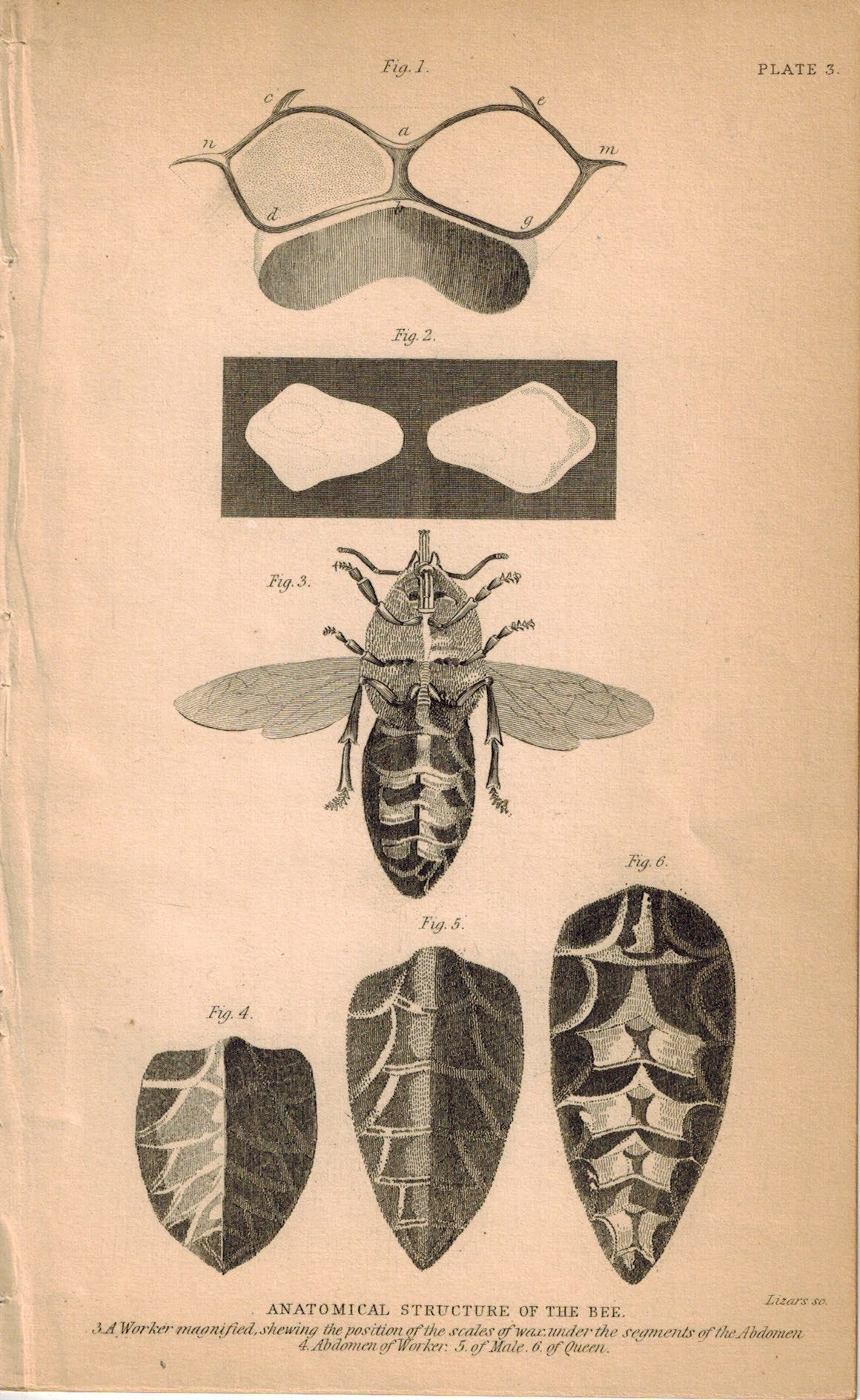 Anatomical Structure Of The Bee 1840 Original Hand Colored Engraving Print
