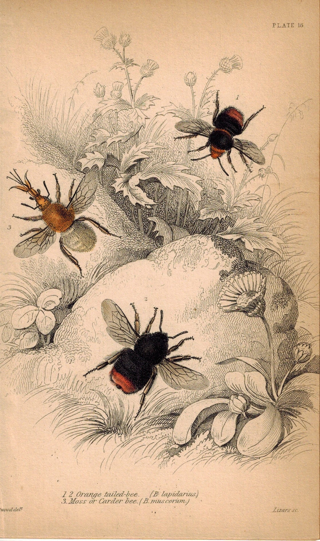 Orange Tailed Bee & Moss Carder Bee 1840 Original Hand Colored Engraving Print