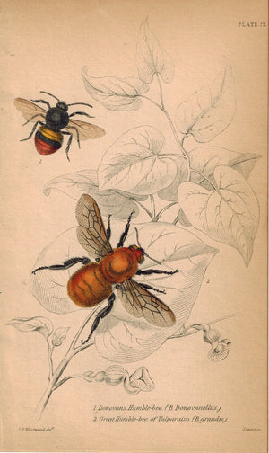 Donovans Humble Bee, Great Humble Bee of Valparaiso 1840 Original Print