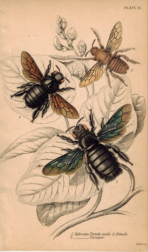 Xylocopa Teredo & Xylocopa Corniger Bees on Leaves 1840 Original Engraving Print