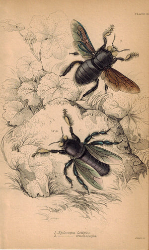 Xylocopa Latipes & Tenuiscapa Bees 1840 Original Hand Colored Engraving Print