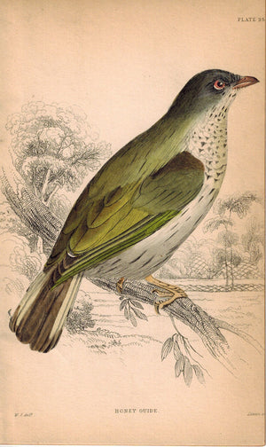 Honey Guide Bird 1840 Original Hand Colored Engraving Print